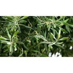 zeytin yaprağı yeni mahsül 250 gr